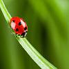 en_ladybug.png